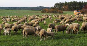 sheep-3080951_960_720